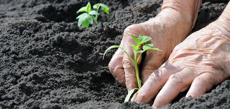 setzlinge anpflanzen